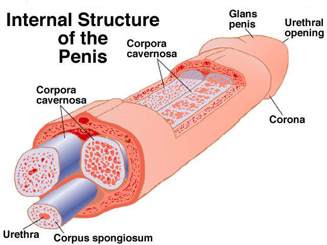 Penis გაფართოების წვრთნები