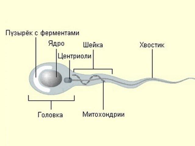 Астенозооспермія причини виникнення